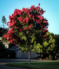 arapaho crape myrtle for sale the tree center