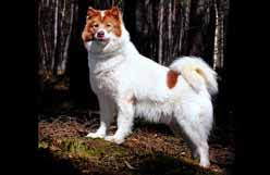 american eskimo dog winnipeg canadian kennel club club canin canadien