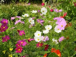 enjoy the old fashioned appeal of garden cosmos