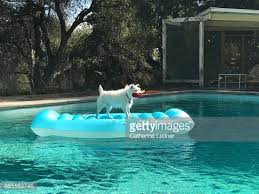 portrait of dog on raft in swimming pool stock photo getty images