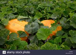 atlantic giant pumpkins in a vegetable garden in the fall holland