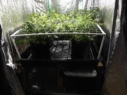 new to site 14 strains under 2000 watts in a 5x10 tent page 18