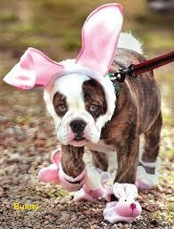 English Bulldog Halloween Costumes 74 Howl Ween Pet Costume Ideas Images Pet