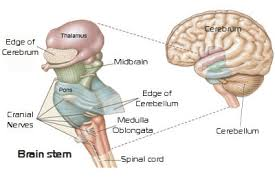 Anatomy Of The Brain And Functions The Brainstem