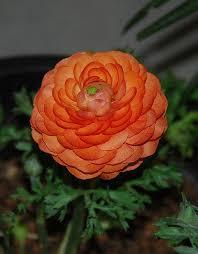 ranunculus flower ranunculus