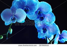 blue orchid flower beautiful blue orchid flower on black stock photo 387660616