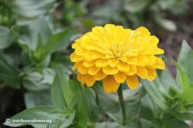 Zinnia Flower Zinnia Flower Pictures