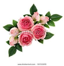 pink and roses roses stock images royalty free images vectors
