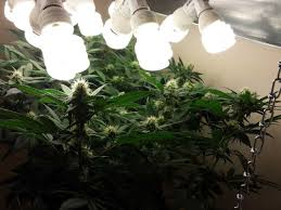 best light to grow pot fluorescent lights enchanting compact fluorescent lights for