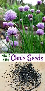 best 20 chive seeds ideas on pinterest growing herbs indoors