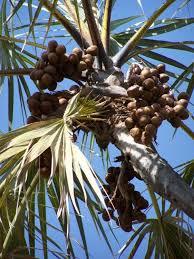 Palm Trees Fruit - the doum palm fruit መኣዲ