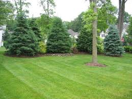 best 25 evergreen trees landscaping ideas on blue