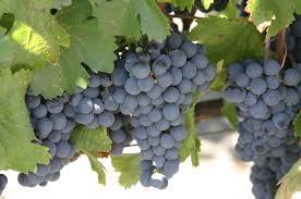 Grapes Home Decor Grapes Home Decor Http Becuo Com Wine Grapes Http Www Bianoti