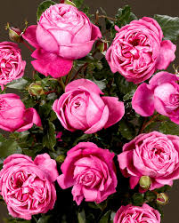 cants of colchester quality rose plants