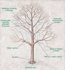 best 25 tree pruning ideas on pruning fruit trees
