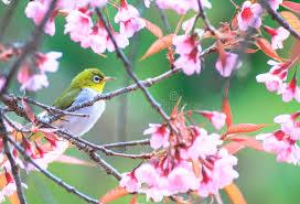 bird on cherry blossom tree stock photo image of cherry