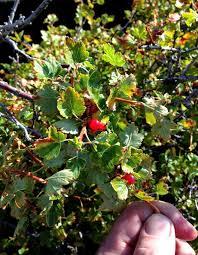 colorado native plants rocky mountain bushcraft rocky mountain edible plant