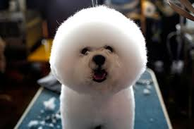 bichon frise 20 pounds 141st westminster kennel club dog show
