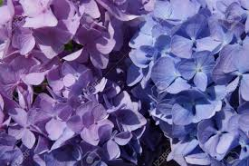 purple and blue flowers macro photo of hydrangeas the color shades of purple and blue