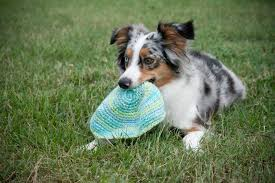 australian shepherd weight 5 things to know about miniature american shepherds