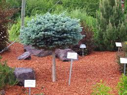 globe blue spruce trees knecht s nurseries landscaping