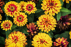 zinnia flowers zinnia flower meaning flower meaning