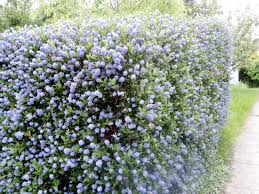 ceanothus hedge in place of the trellis is evergreen and can grow