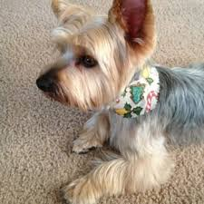 silky terrier hair cut mc pet grooming 24 reviews pet groomers 3023 harbor blvd