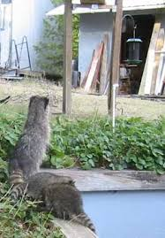 Raccoons In Backyard Raccoons