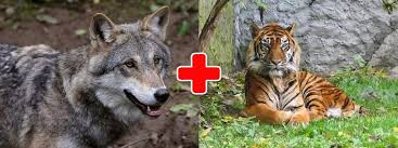 wolf and tiger personality compatibility