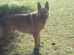 belgian shepherd los angeles what kind of dog should i get for my backyard page 2 backyard