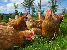 an introduction to pastured poultry transcoop