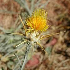 flagstaff native plant and seed yellow starthistle u2014 northern arizona invasive plants