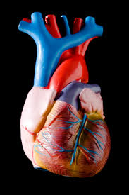 a medical guide to the circulatory sytem for kids