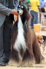 afghan hound in clothes afghan hound dog breed information dogspot in