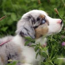 australian shepherd quebec 60 best mini aussies images on pinterest mini aussie aussies