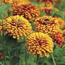 2 zinnias to try official of park seed