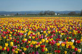 tulip fields pretty and delectable