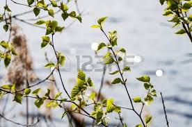 Cottonwood Tree Flowers - cottonwood tree stock photos u0026 pictures royalty free cottonwood