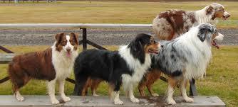 australian shepherd colors australian shepherd for the love of purebred dogs