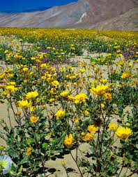 Flowers Anza Borrego The Summer Bristlecone Workshop And Desert Flowers Travels With