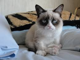 grumpy cat pictures breed personality history information