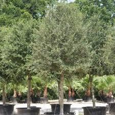 a quality plant woody ornamental trees florida trees