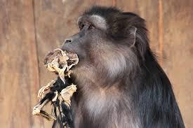 mother monkey eats mummified baby in u0027astonishing u0027 case