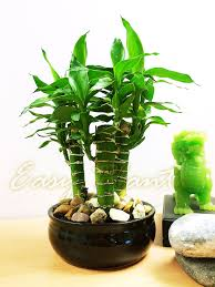 Plants In House 1 X Tiger Bamboo 3 Trunks Group Plant In Ceramic Pot House Feng