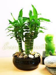 1 unusal lucky tiger bamboo 3 trunks group plants ceramic pot