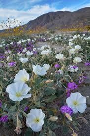 anza borrego wildflowers anza borrego wildflowers portrait photograph by kyle hanson