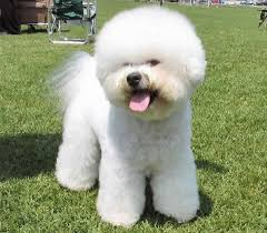 bichon frise jumping bichon frise our dogs and us