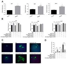 ijms free full text mir 218 involvement in cardiomyocyte