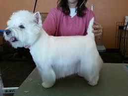 images of westie hair cuts westie haircuts digital box